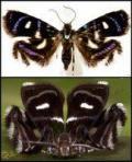 metalmark-moth-courtesy-of-strange-ark-blog1